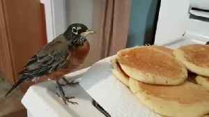News video: Rescued Robin Caught Red-Handed Stealing Fresh Pancakes