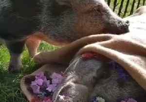News video: Prepare to Be Emotionally Destroyed by Pig Mourning Death of Best Friend