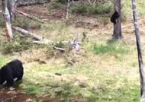 News video: Family of Bears Climbs Trees, Take a Swim in Yellowstone National Park