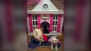 News video: Chance Encounter at Party Turns Woman into Puppy House Designer for the Stars