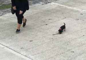 News video: Tiny Dog Learns to Play Fetch