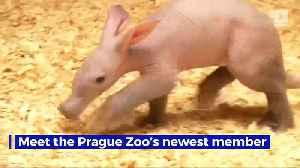 News video: Prague Zoo Shares First Footage of Newborn Aardvark