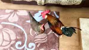 News video: Owner spends 30 minutes chasing brazen cockerel and hen round house after they marched into living room