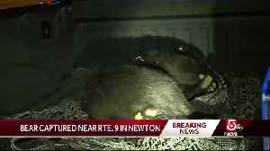 News video: Bear captured near Route 9 in Newton