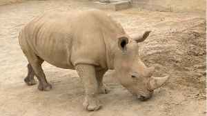 News video: Why This White Rhino's Pregnancy Is So Important