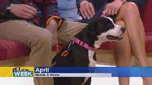 News video: Meet April, Our Pet Guest Of The Week!