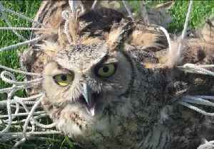 News video: Colorado Police Rescue Bewildered Owl Tangled in Soccer Net