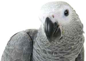 News video: Grey Parrot Learns How To Use US Family's Amazon Alexa