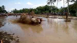 News video: After harvest, farmers get dragged through the mud in Indonesia bull race