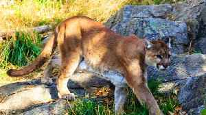 News video: Rare Cougar Attack in Washington Leaves One Dead, Another Injured