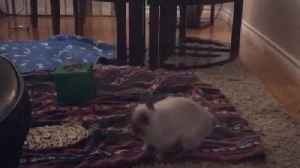 News video: Hopping Bunny Gets An Adorable Case Of The Zoomies