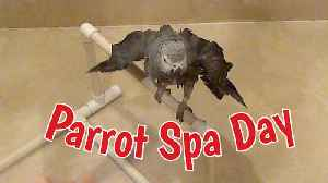 News video: Pampered parrot get deluxe spa treatment