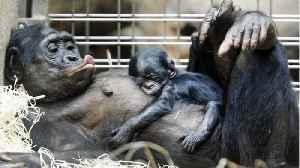 News video: Female Bonobos Are Midwives For Other Bonobos