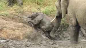 News video: Caring mother elephant helps her struggling baby out of river