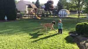 News video: When A Dog Is Bigger Than Its Human Friend