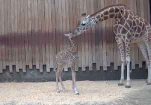 News video: Milwaukee County Zoo Welcomes New Giraffe Calf