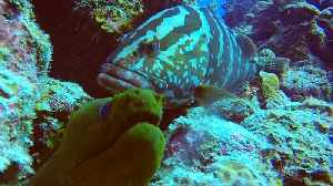News video: Extremely rare and intelligent animal communication: Eel and grouper hunt together