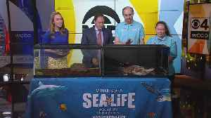 News video: Turtles From SEA LIFE Visit WCCO On World Turtle Day
