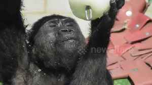 News video: Young gorilla cools himself down with ice lolly