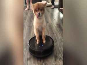 News video: TONGUE OUT! Puppy rides on Roomba - ABC15 Digital