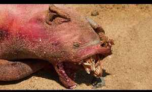 "MYSTERY ""HELL PIG"" CREATURE"