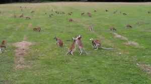 News video: Drone footage captures hundreds of wallabies