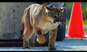 News video: FLORIDA PANTHER RELEASE