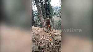 News video: This monkey can peel tangerine better than you