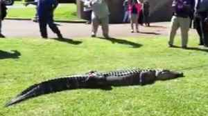 News video: Students Freak Out Over Alligator Spotted Mississippi College Campus