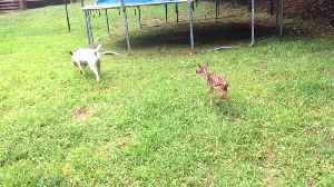 News video: Dog and Fawn are Friends