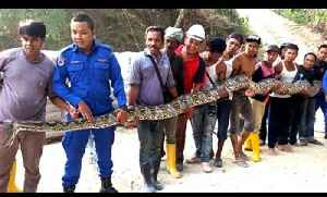 News video: GIANT SNAKE CAUGHT IN MALAYSIA