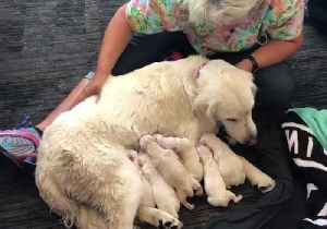 News video: Service Dog Delivers 7 Puppies at Tampa International Airport