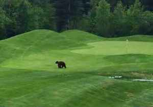 News video: Mama Bear and Cub Spotted Crossing Trickle Creek Golf Course in British Columbia