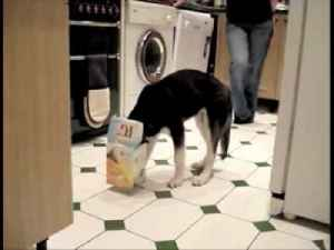 News video: Dog With A Box On His Head - Parry Gripp