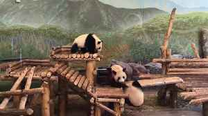 News video: Funny Panda Bears Playing In A Zoo Exhibit