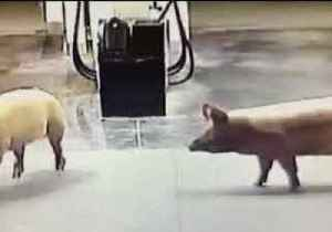 Escaped Pigs Enjoy Midnight Adventure at Gold Coast Petrol Station [Video]