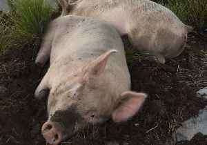 Escaped Pigs Found Napping at Petrol Station After Big Night Out [Video]