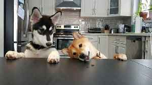 News video: Husky constantly bothers Shiba Inu all day long