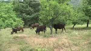 News video: Bulgarian cow's life spared after international outcry