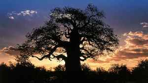 News video: Scientists Warn That Earth's Ancient Baobob Trees Dying