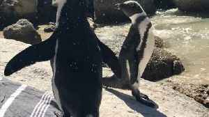 News video: Super cute African penguins chill on woman's beach towel