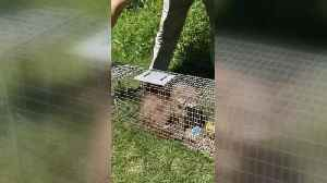 News video: Skyscraping raccoon released into the wild