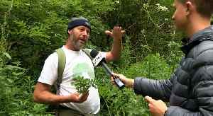 Don't Panic About Your Giant Hogweed! [Video]