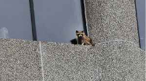 News video: What Did This Raccoon Do?