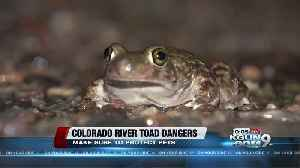 News video: Monsoon brings desert dwellers to town, including toxic Colorado River Toads
