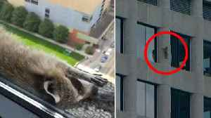 News video: Daredevil Raccoon That Scaled Minnesota Skyscraper Becomes Internet Sensation