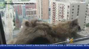 News video: Raccoon Climbs Minnesota Skyscraper, Gets Stuck On Ledge