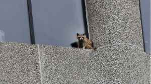 News video: MPR Raccoon Now Safe After Death Defying Climb