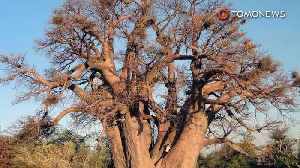 News video: Climate change maybe wiping out thousands-years-old trees