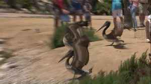 Pelicans Nursed Back to Health, Released in Southern California [Video]